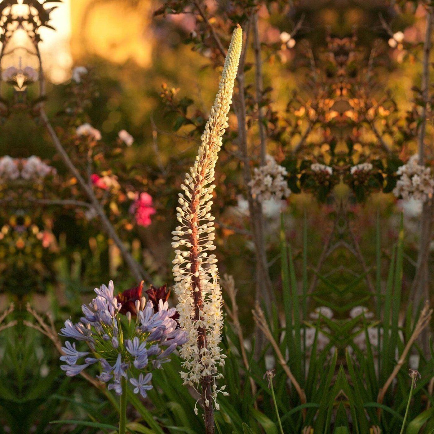 Allium ampeloprasum spanish allium pinterest izmirmasajfo