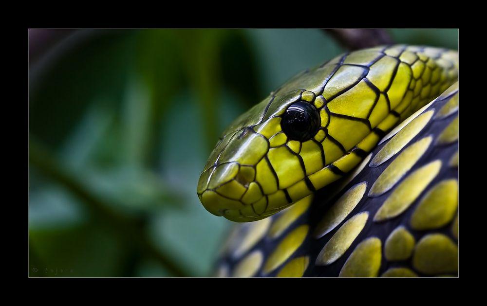 Mamba Reptilien Und Amphibien Schone Schlangen Giftschlangen
