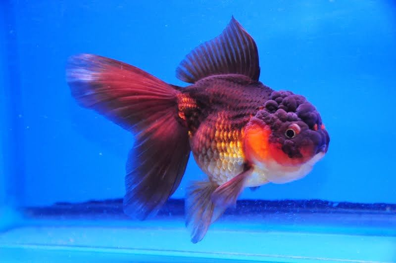 Red Black Oranda Dandyorandas Com Goldfish Aquarium Fish Beautiful Fish