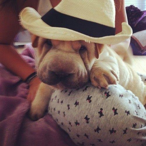 Shar-pei pup #shar #pei #sharpei