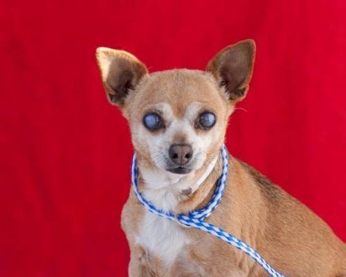 Gayweho Dogs 4 U On Gayweho Dogs4u Dogs Chihuahua Adoption