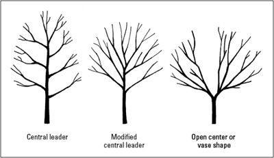 Pictures Showing How To Properly Stack A Fruit Tree Google Search Pruning Apple Trees Fruit Trees Tree Care
