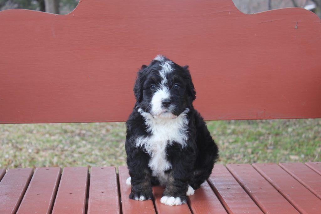 Our Bernedoodles For Sale Namaste Poodles Doodles In 2020 Bernedoodle Puppy Poodle Doodle Puppy