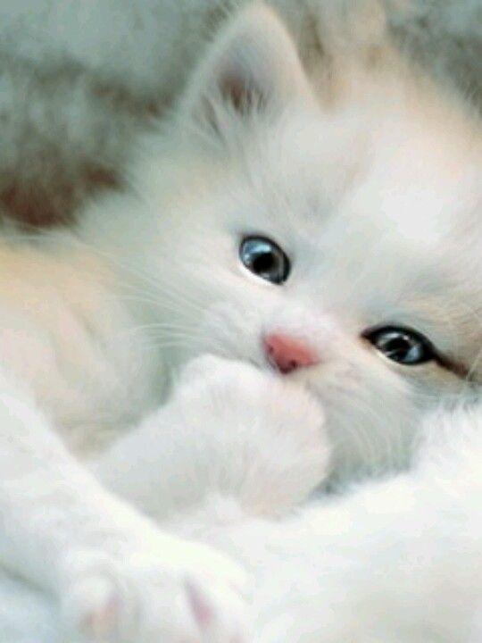 Fluffy White Kitten Babytiere Tiere Tierbilder