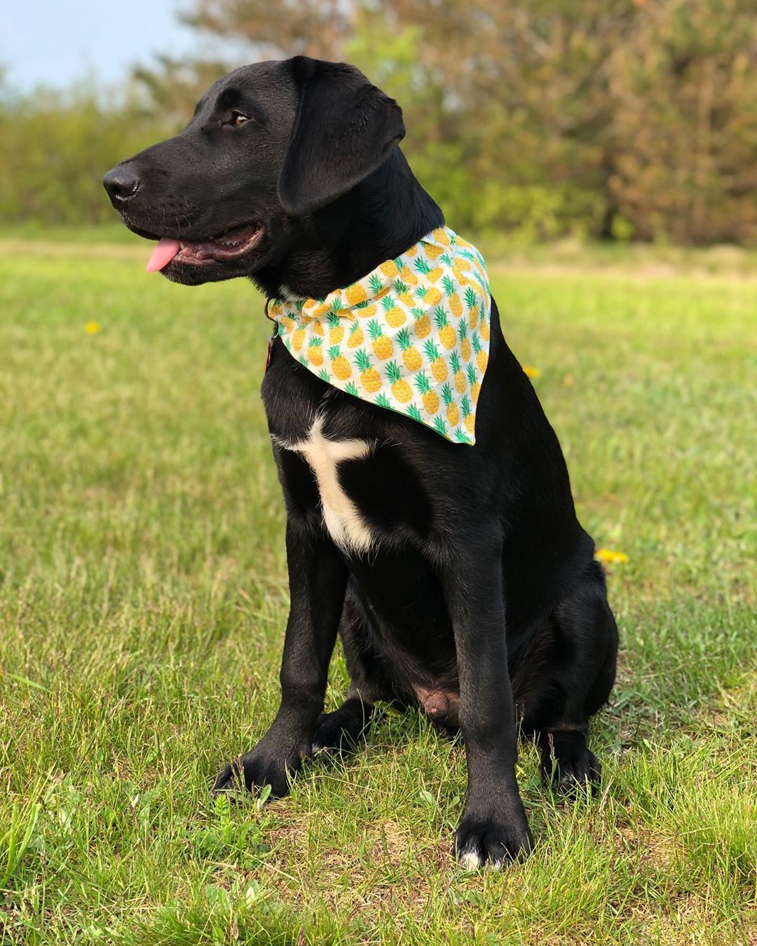 Today Is A Good Day My Hooman Made Me A New Bandana And It S Friday Labs Of Insta Blacklabsquad Blacklabpup Lab Puppy Black Lab Puppies Dog Bandana