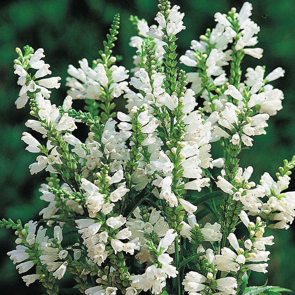 Drakmynta 'Crown of Snow' Obedient plant, Flowers