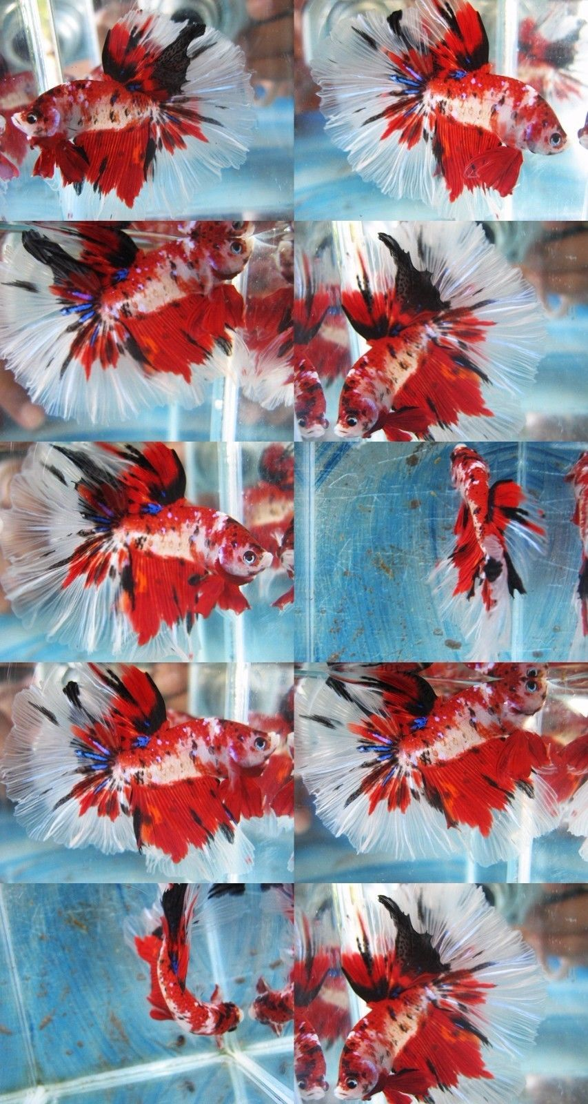 Fancy Red Koi Halfmoon Betta Imported Aquarium Fish Show Betta ...