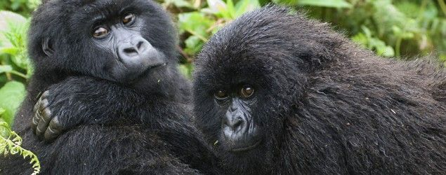 African gorillas. (Getty Images)