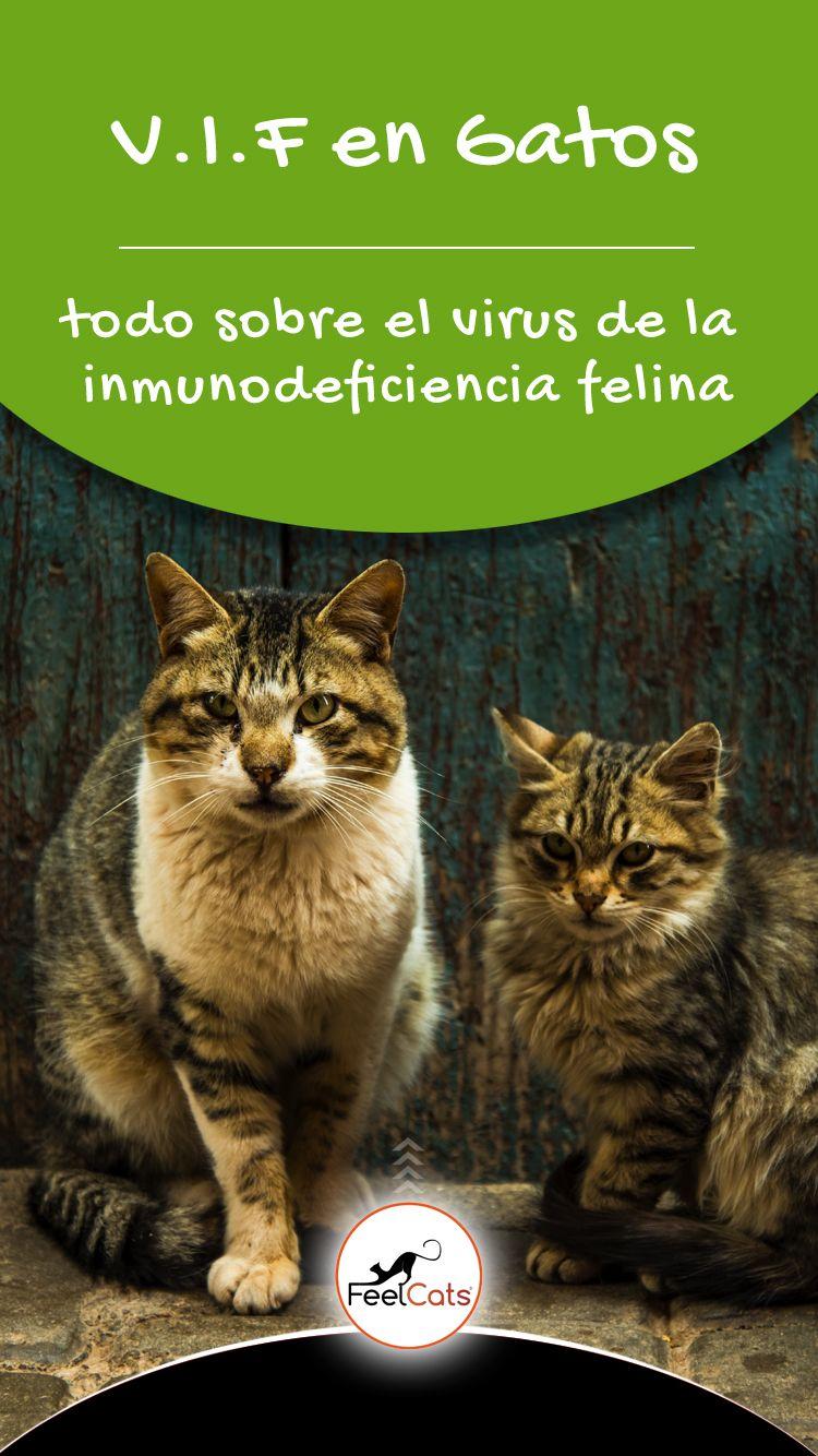 10 Ideas De Inmunodeficiencia Felina Felino Gatos Enfermedad Del Gato