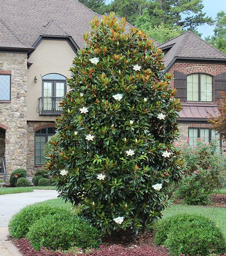 The Magnolia Tree For Smaller Spaces Same Qualities As A Southern Magnolia Just Smaller There Is So Little Gem Magnolia Tree Magnolia Trees Privacy Trees