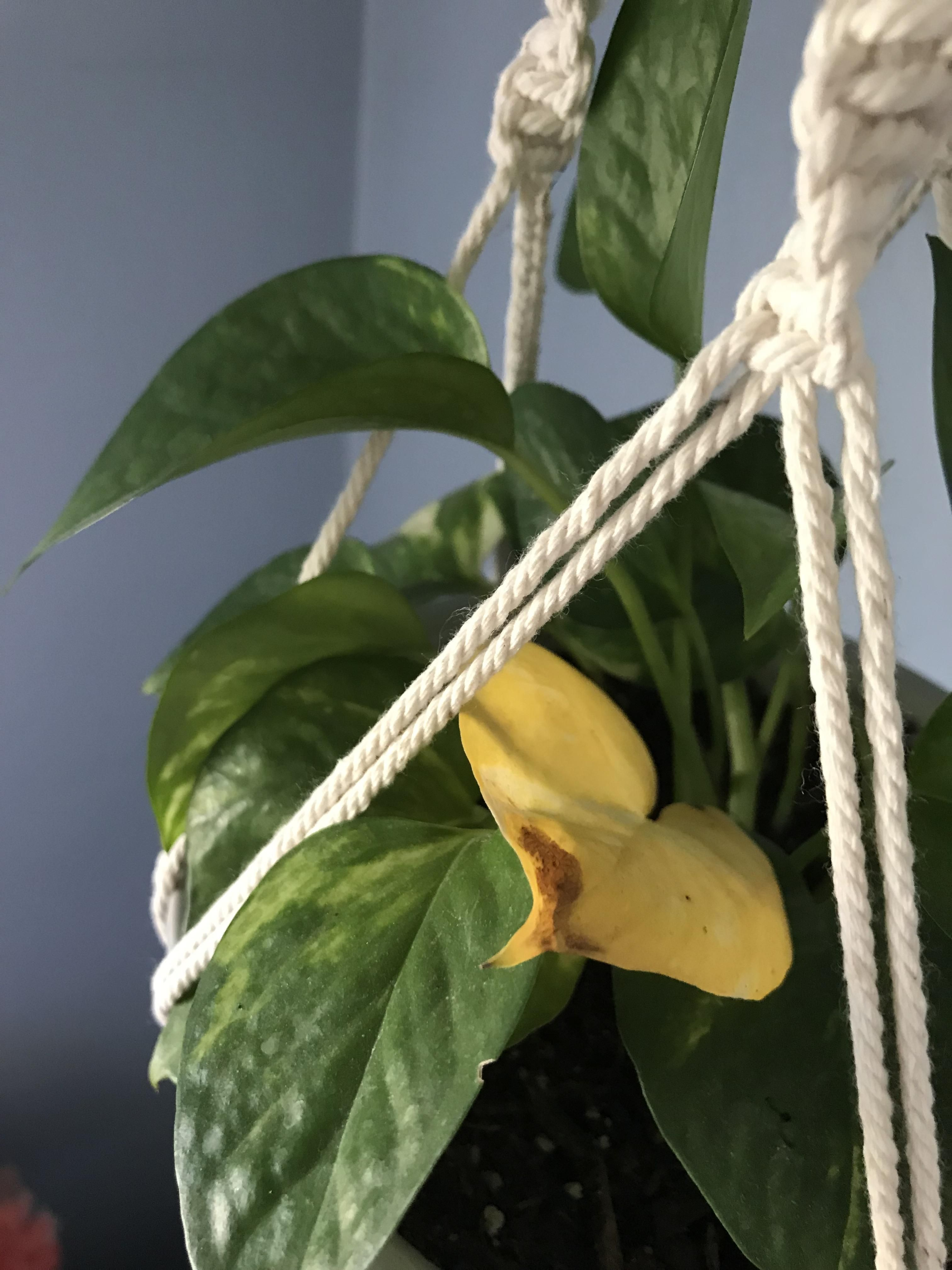 Pothos Leaf Turned Yellow Google Says Its From Overwatering And Root Rot Can Anyone That Knows About This Pla Plant Leaves Turning Yellow Plant Leaves Plants