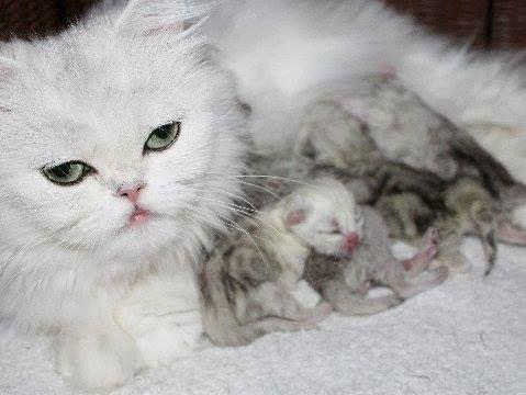 CatsCreation Kittens For Sale New litter Chinchilla