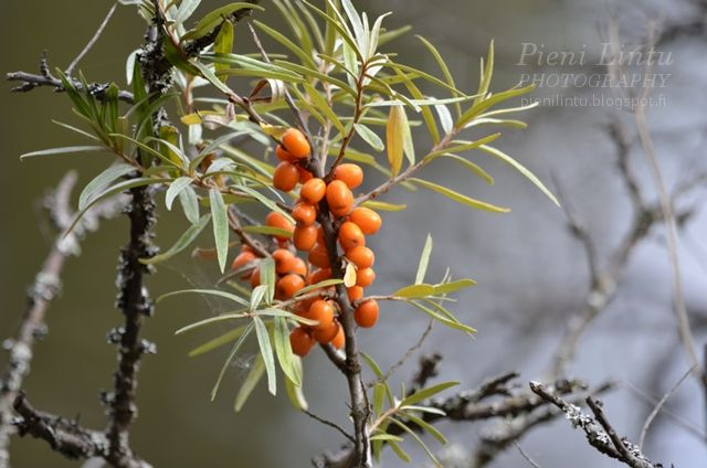 Pieni Lintu: Autumn berries