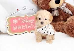 Armani Lovely Toy Maltipoo puppy Available! 10/21/2015