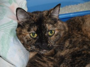 Adopt Lilly On Tortoise Shell Cat Cats Calico Cat