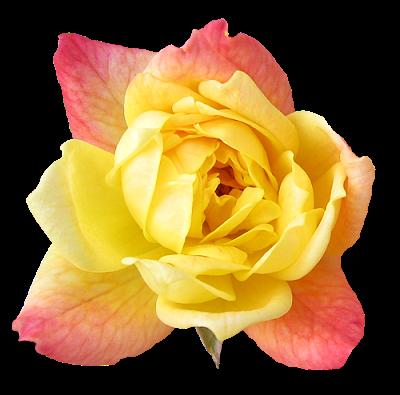 Hd Flower Wallpaper Free Yellow Rose Flower Wallpaper Rose Flower Wallpaper Flower Wallpaper Yellow Rose Flower