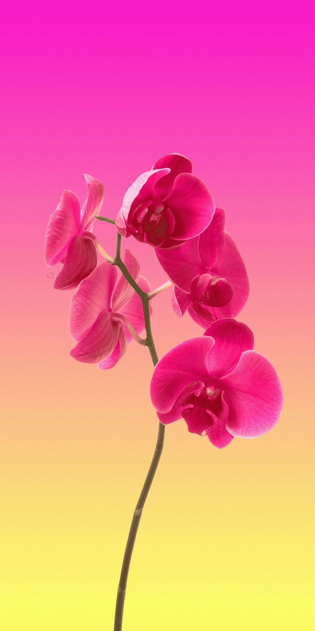 Orchid Minimal Wallpaper 1080x2160 Wallpaper Nature Flowers Orchid Wallpaper Hd Flower Wallpaper