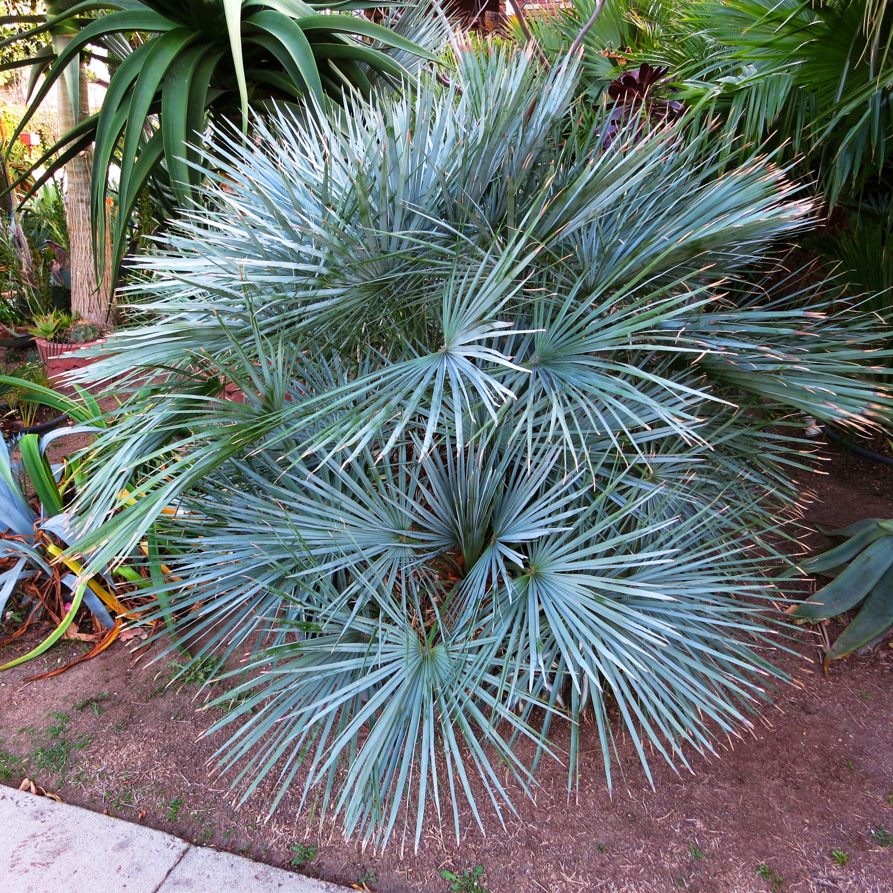 chamaerops humilis var argentea aka cerifera southern california palm photos original palm. Black Bedroom Furniture Sets. Home Design Ideas