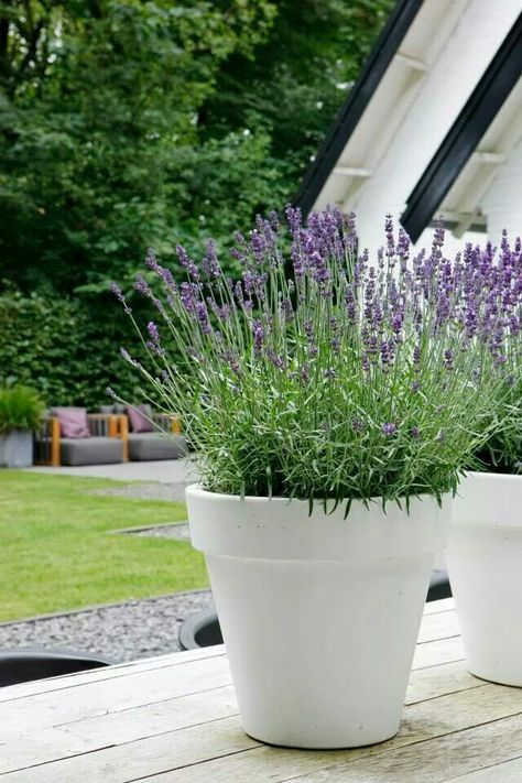 Perhaps Have The Lavender In White Pots For A Slightly More Bridal Look