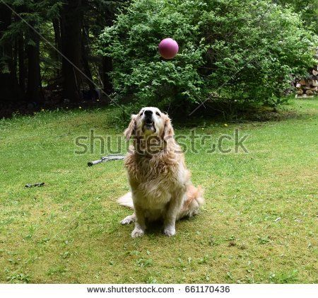 Golden Retriever Ready To Catch Ball In The Air My Shutterstock