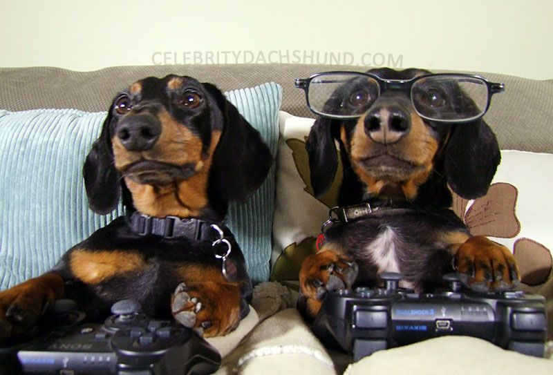 Playin' some video games with the bro. #dachshund