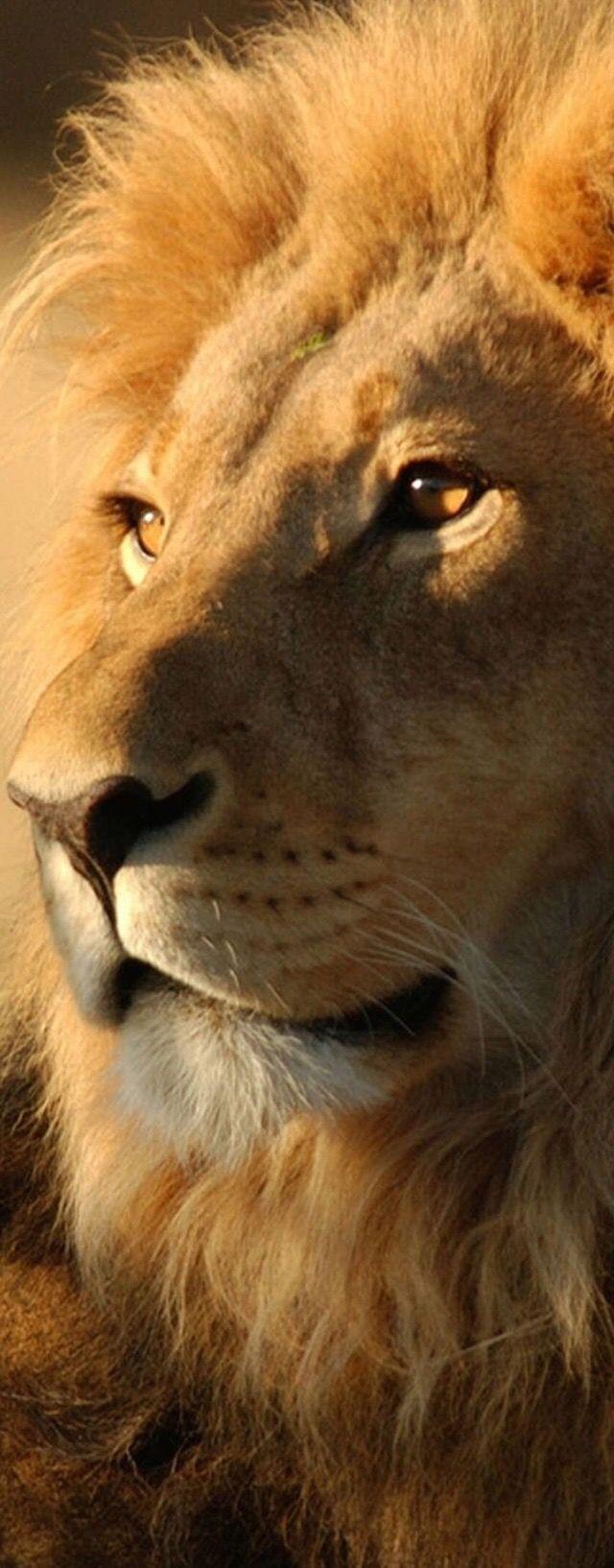 50 Beautiful Wild Animals Lion pictures, Lion wallpaper