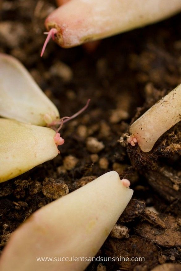 Novo crescimento de propagação folha suculenta