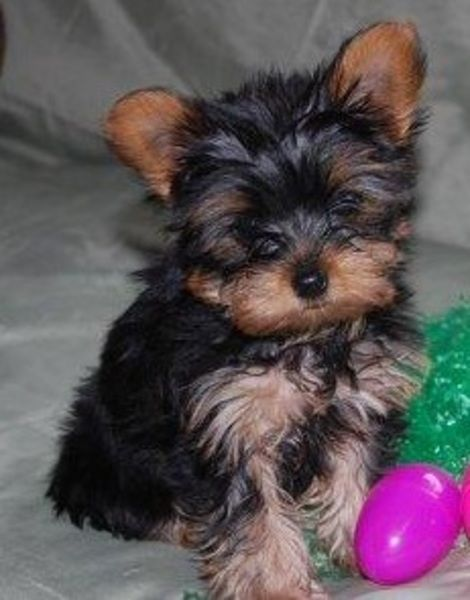 Pittsburgh Pa Classifieds Pets Yorkshire Terrier Teacup Yorkie Yorkie