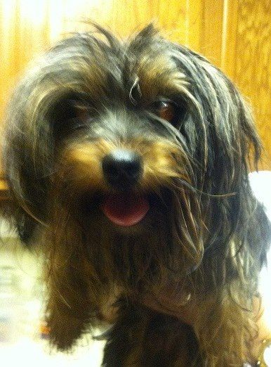 FOUND Yorkie or Terrier mix in Windsong Trail subdivision