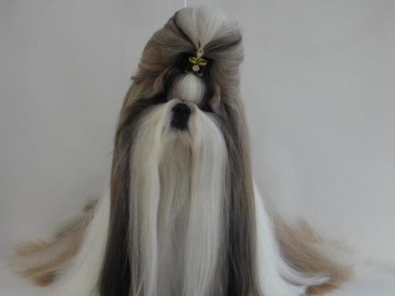 Shih Tzu Long Hair Google Search Shih Tzu Long Hair Dog Grooming Styles Shih Tzu Grooming