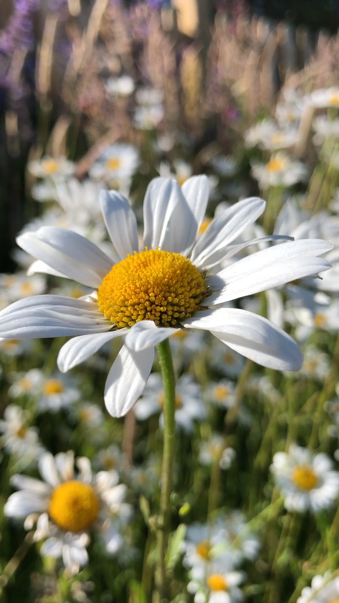 Close-up View of a White Daisy