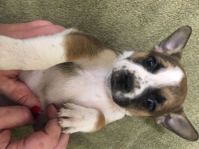 Litter of 5 Australian Shepherd-French Bulldog Mix puppies for sale