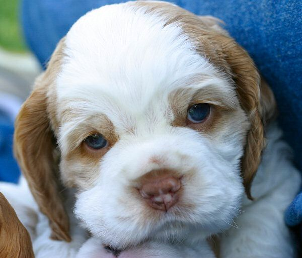 Blue Eyed Cocker Spaniel Weeks To Get A Picture That Shows