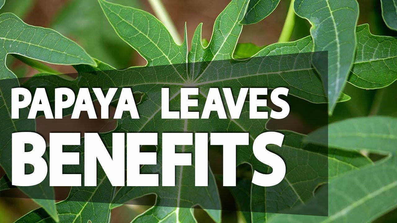 Papaya Leaves Benefits You Never Knew Before Plant