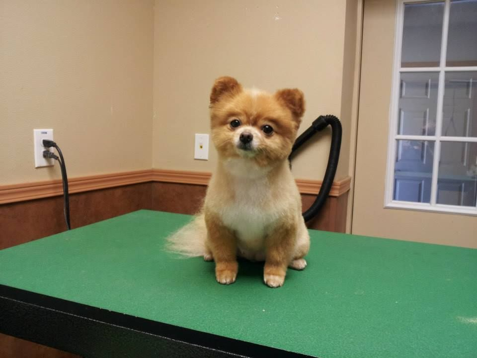 pomeranian teddy bear trim puppy cut haircut pom