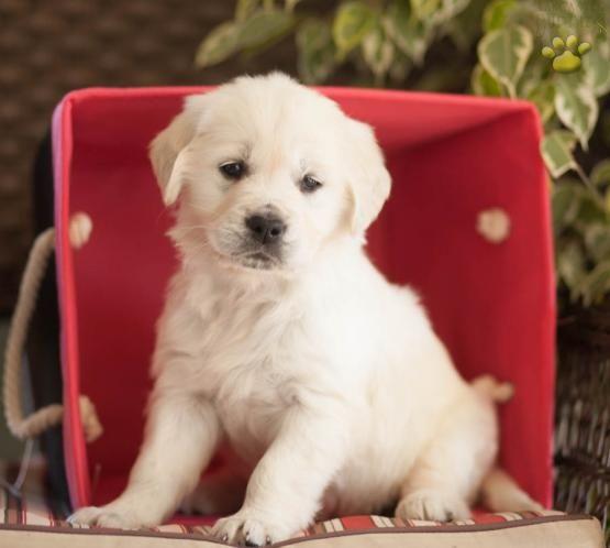 Gail Golden Retriever English Cream Puppy For Sale In Lykens