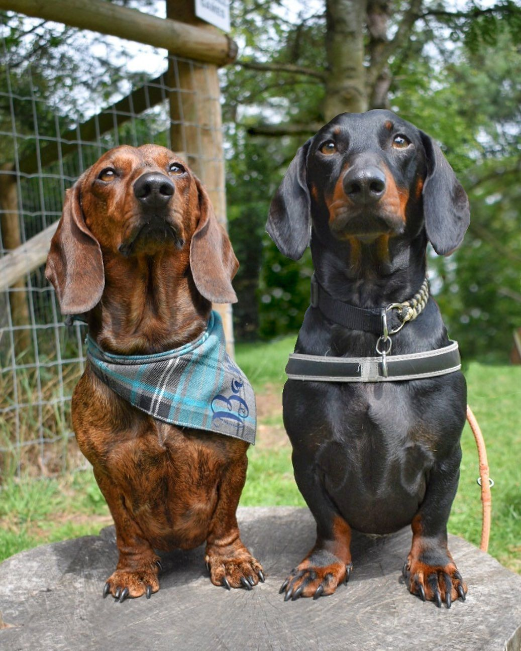 Dachshund Products Apparel And Gifts