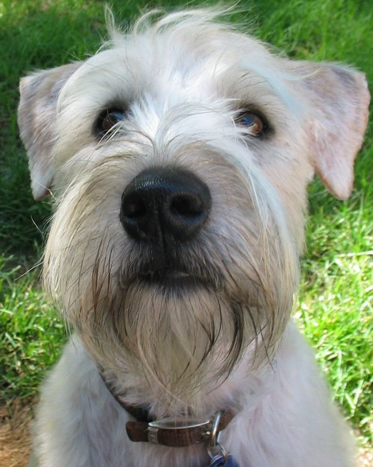 Soft Coated Wheaten Terrier Haircut | Dog | Wheaten ...
