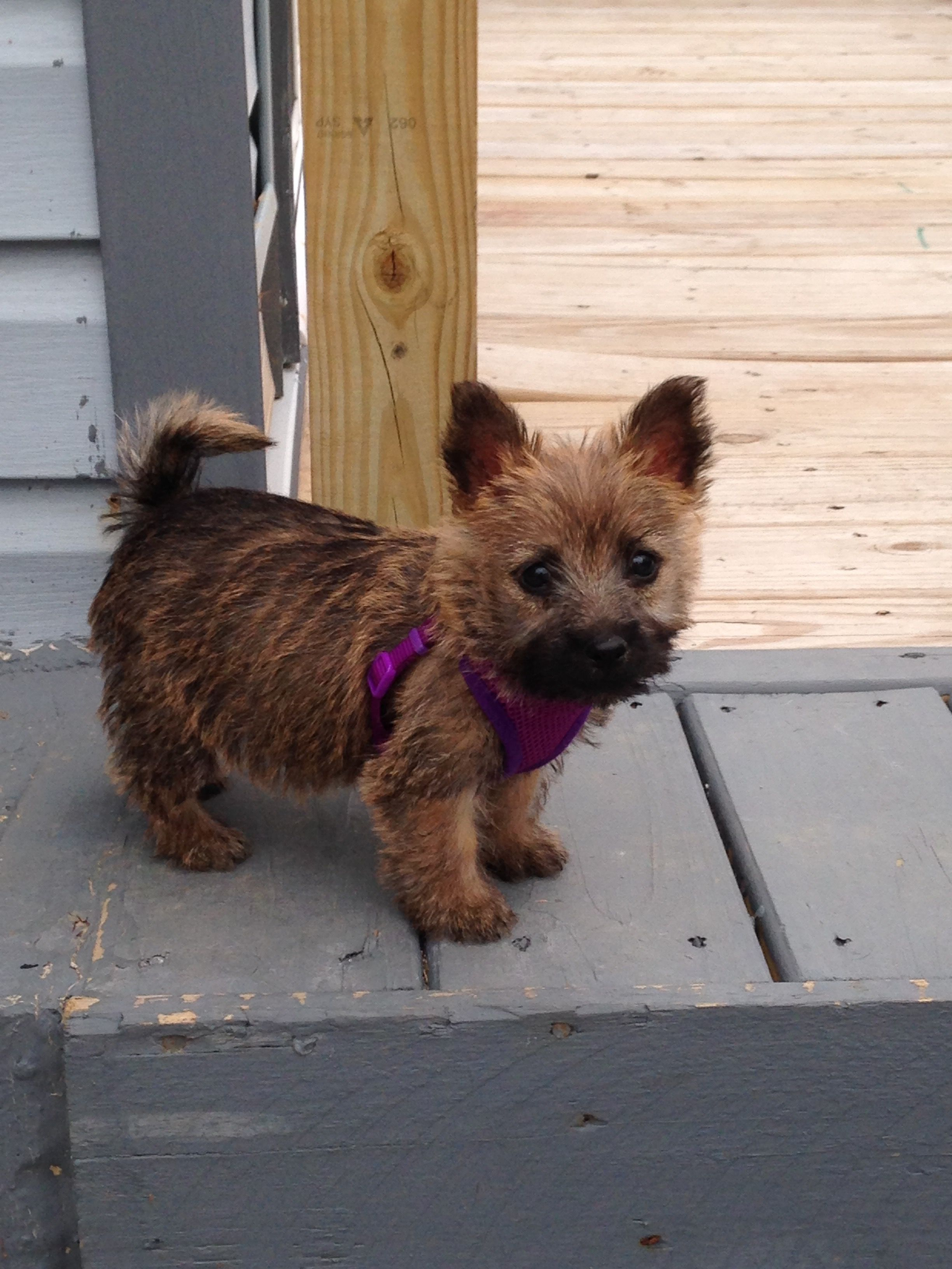Cairn Pup Love Cairn Terriers Cairn Terrier Puppies Cairn