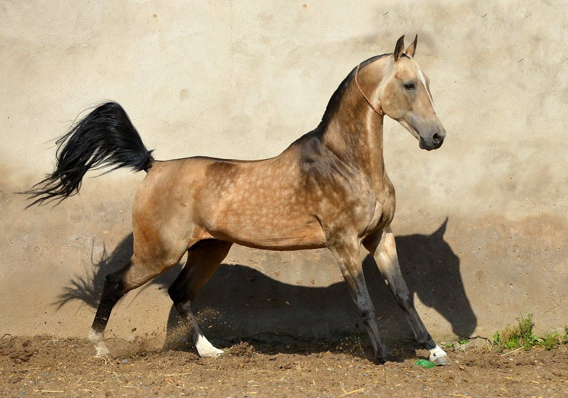 Akhalteke - the most beautiful horse in the world 86