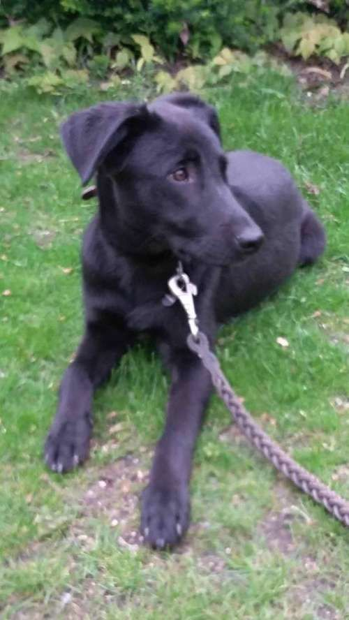 Safe 3 4 15 Brooklyn Center Dallas A1018850 Returned 12 14 14 Male Black White Staffordshire Mix 1 Yr St Dog Adoption Animal Shelter Animals