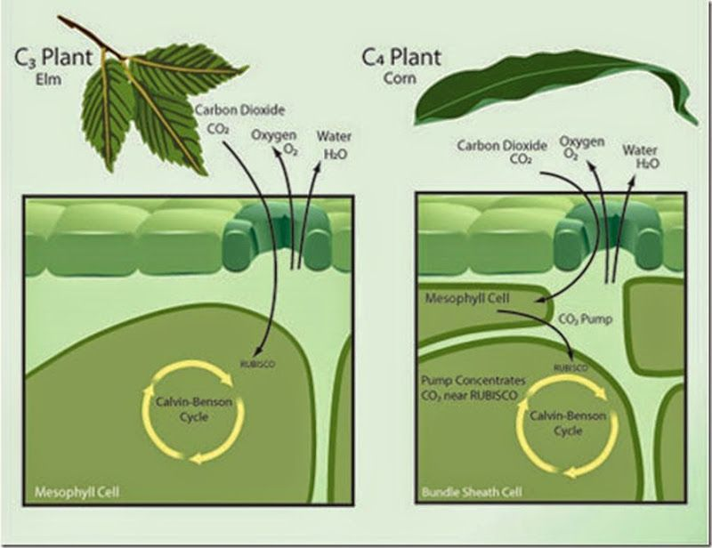 Difference between C3, C4 and CAM plants | Major Differences ...