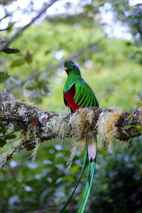 The resplendent quetzal is an aptly named bird that many consider among the world's most beautiful. #birding #wildlife