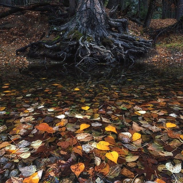 Fallen leaves perfectly litter the ground in #YosemiteNationalPark. Shot last November on a morning mission for @adidasoutdoor @3stringsproductions @andy_mann @kjorgeson