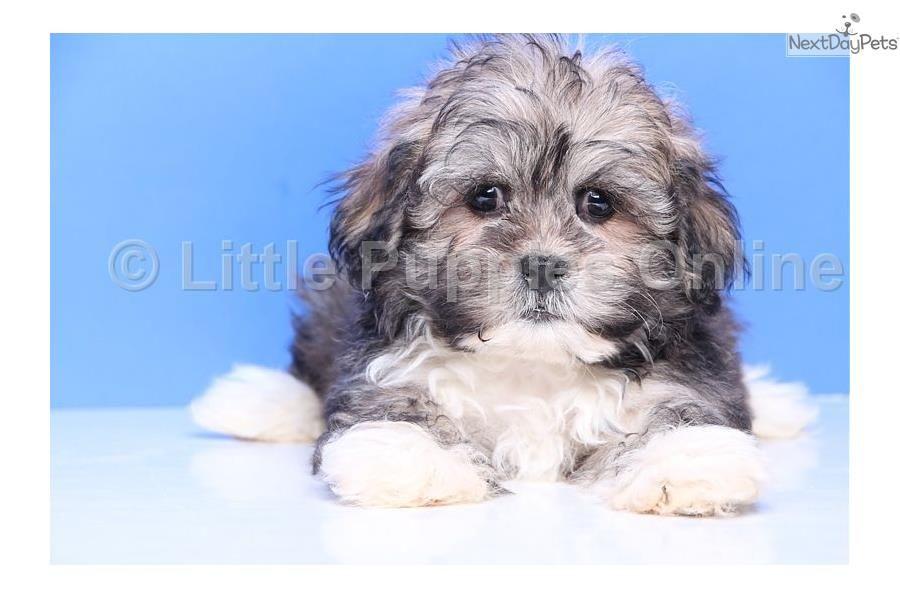 Tubby Male Teddy Bear Teddy Bear Dog Shichon Puppies Puppies