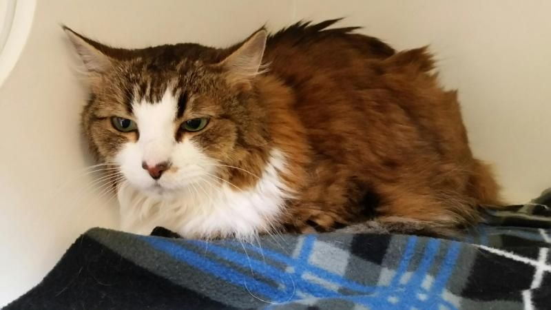 Adopt Casey Front Declawed On Cat Love Adoption Pets