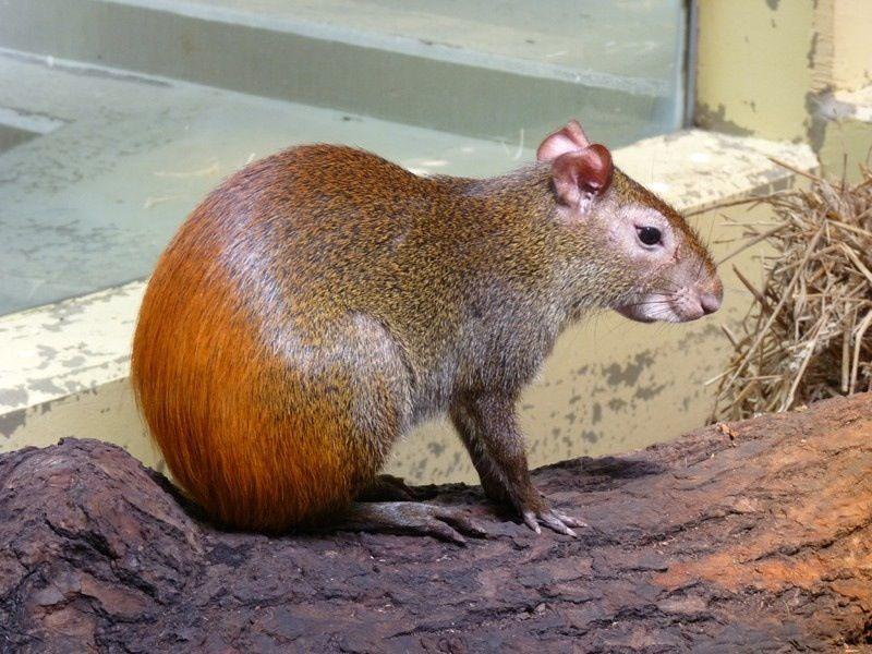 Aguti A Bush Rat Bush Rat Animals Wild Animals