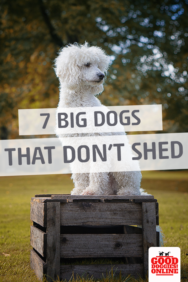 Large Dog Breeds That Don T Shed Big Dogs Dog Breeds That Dont