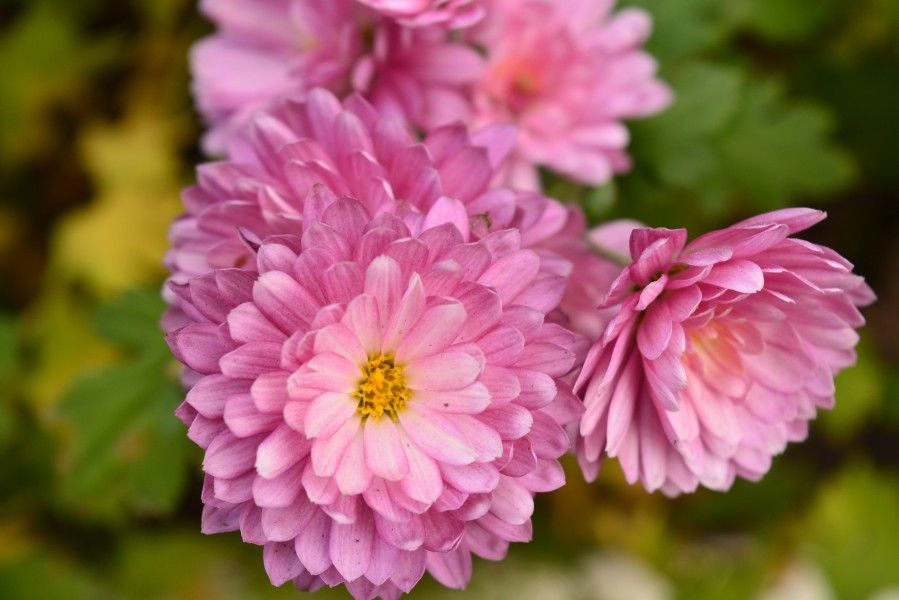Crisantemo Los Colores Que Faltan En Tu Jardin The Home Depot Blog Sympathy Flowers Flower Meanings Chrysanthemum