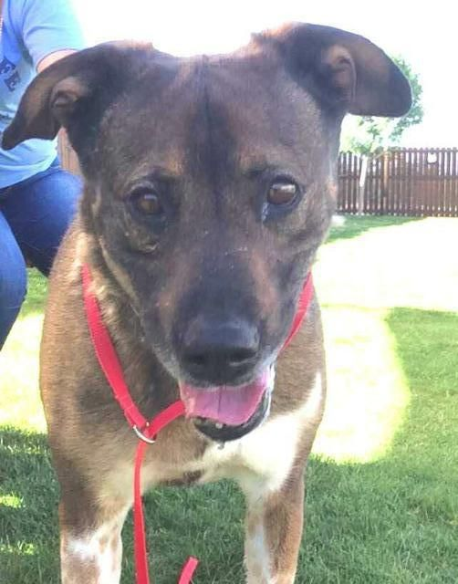 Meet Max A Petfinder Adoptable Shepherd Dog El Paso Tx All Dogs Will Be Spayed Neutered Prior To Leaving The Humane Humane Society Shepherd Dog All Dogs